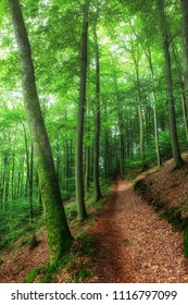 Brown foliage covered path through a light green and sunny beech forest