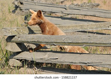 brown fox on fence