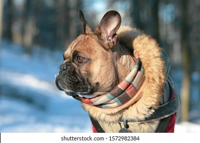 Brown French Bulldog dog wearing warm winter coat with fur collar and scarf in front of blurry winter snowforest landcape background