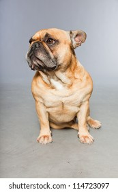 Brown french bulldog. Funny dog. Comic character. Studio shot isolated on grey background.
