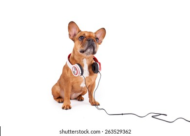 Brown French bulldog with headphone isolated on white background