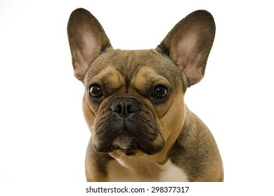 Brown French Bulldog Isolated on White