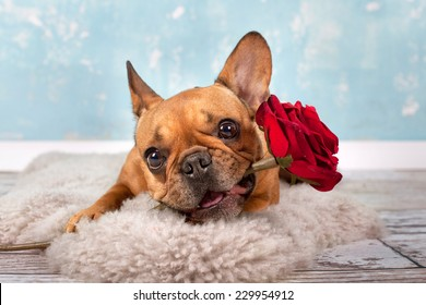 brown french bulldog with red rose lying on a fluffy blanket, love and valentine concept