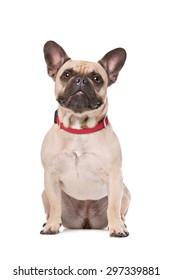 Brown French Bulldog sitting in front of a white background