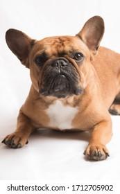 brown french bulldog in studio