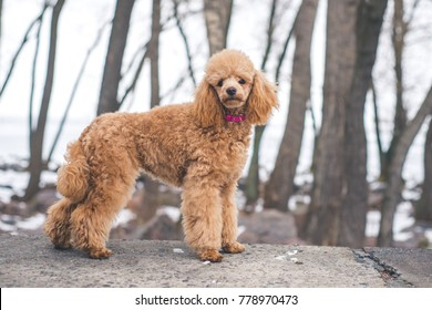 Brown french Poodle dog staying outside during winter time