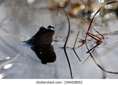 Brown frog in the Davidsplassen Dwingelderveld, the Netherlands