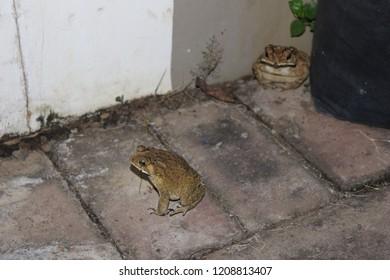 Brown Frog in My Home