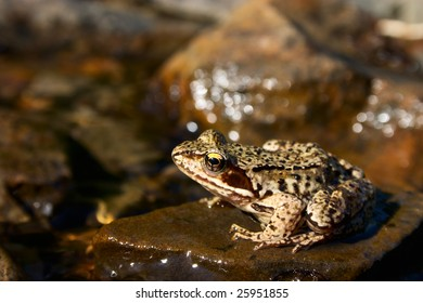 Brown frog on a stone in stream
