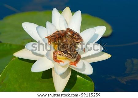Brown frog Rana temporaria
