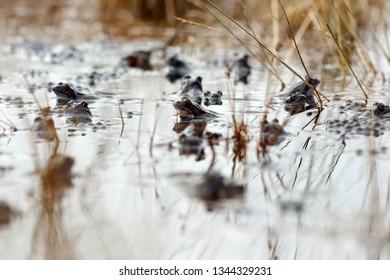 Brown frogs in Davidsplassen Dwingelderveld, the Netherlands