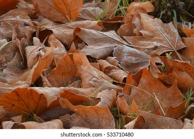 Brown frosted leaves