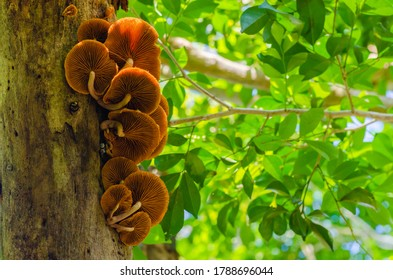 Brown Fungi is Growth on Top of Tree in the Tropical Forest.