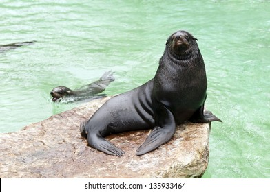 A brown fur seal sitting on a rock