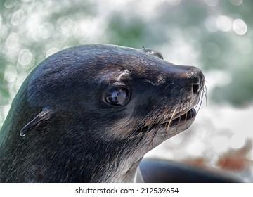 Brown Fur Seals (Arctocephalus pusillus) on Cape Cross, Namibia, Africa