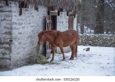 A brown, furry horse at the stable in winter