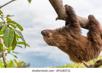 Brown furry sloth hanging upside down and staring