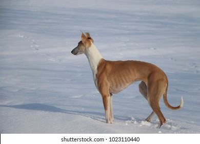 brown galgo is standing on a field full of snow