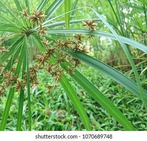 The brown galingale flowers of Umbrella papyrus (Cyperus alternifolius)