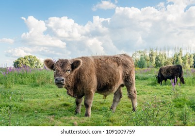 Brown Galloway bull in the foreground watches the photographer while another bull  grazes quietly in a Dutch nature reserve with colorful wildflowers. It is summer now.
