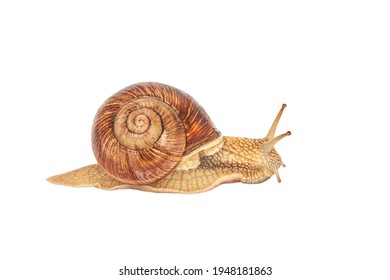 A brown garden snail on a white background. Helix pomatia. grape snail on a white background. mollusc and invertebrate. delicacy meat and gourmet food - Shutterstock ID 1948181863