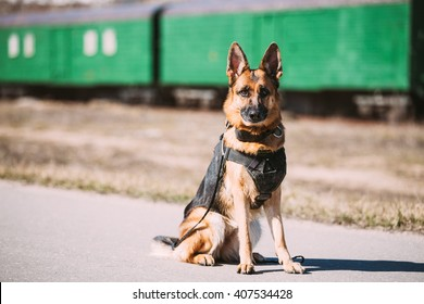 Brown German Sheepdog Sitting On Road In Sunny Day