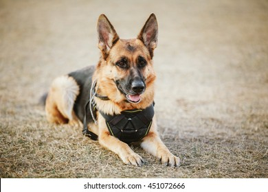 Brown German Sheepdog Sitting On Ground. Guard Dog, Police Dog