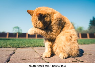 Brown ginger cat hiding it's face