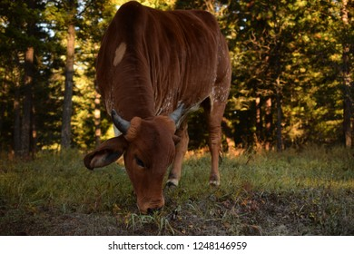 Brown gir cow eating grass on the background of the sun-drenched forest