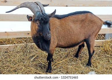 Brown goat with big horns in the pen