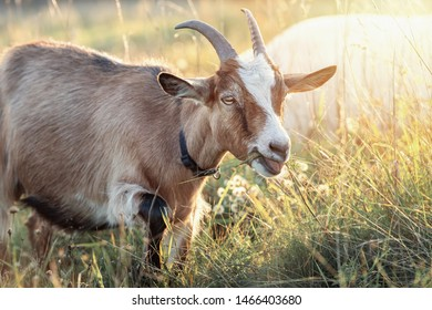 Brown goat with big horns in shining meadow eats grass
