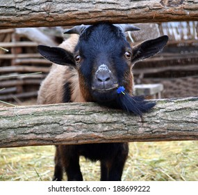 brown goat Close-up