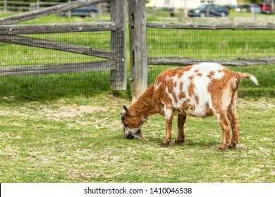 A brown goat eating grass by a wooden fence
