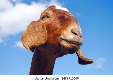 brown goat farm animal mammal agriculture livestock