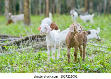 Brown goat in field, free. Steep goats.Goats eating grass,Goat on a pasture,Little goat portrai