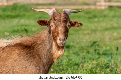 Brown goat in the field at sunrise.