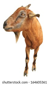 Brown goat isolated on white background