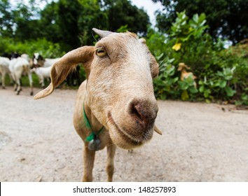 Brown goat on the farm.