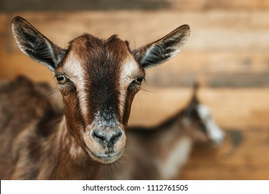 Brown goat portrait with wooden plank background
