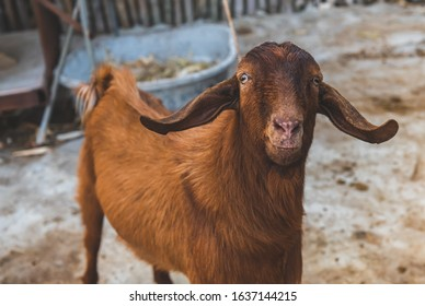 Brown goat in winter farm with outdoor low lighting.