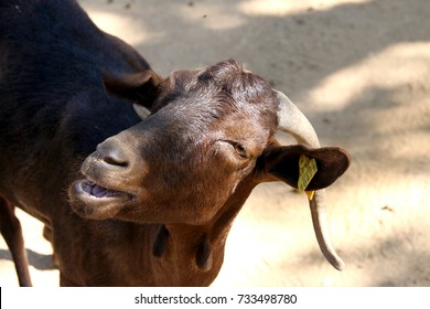 Brown goat in zoo