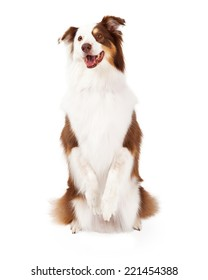 Brown, gold and white Border Collie sitting up on her hind legs begging and looking forward