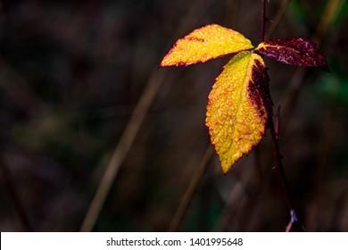 Brown golden dead autumn leaf on a brown background