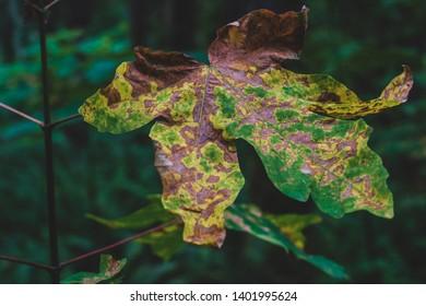 Brown golden dead fallen autumn leaf on a green background