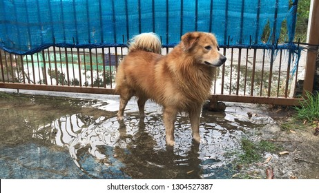 Brown Golden retriever dog stay in the dirty flood after the lot rain, be careful of leptospirosis, it can be infected by contact with water or mud with germs by germs.