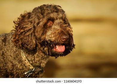 Brown Goldendoodle dog outdoor portrait head shot