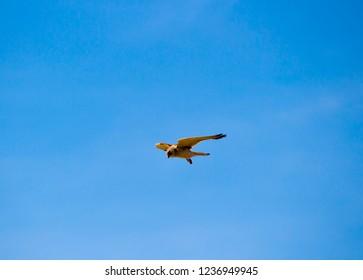 A Brown Goshawk ,Australian Goshawk, Chicken-hawk, Grey-headed , Western, Collared Goshawk  a medium-sized raptor (bird of prey) hovering over prey in the sand dunes in late spring.