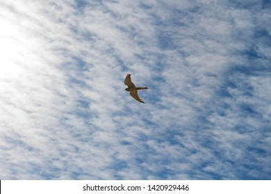 A Brown Goshawk ,Australian Goshawk, Chicken-hawk, Grey-headed , Western, Collared Goshawk  a medium-sized raptor (bird of prey) hovering over prey in the sand dunes in late spring.