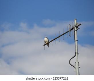 A Brown Goshawk ,Australian Goshawk, Chicken-hawk, Grey-headed Goshawk, Western Goshawk, Collared Goshawk  a medium-sized raptor (bird of prey) perched on a TV antenna  on a fine autumn afternoon.