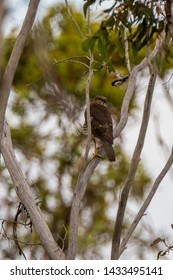Brown Goshawk  Latin name: Accipiter fasciatus